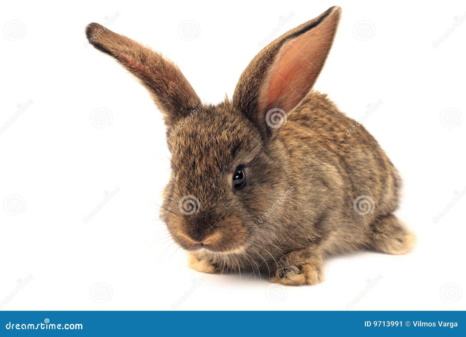 Conejo soñoliento aislado