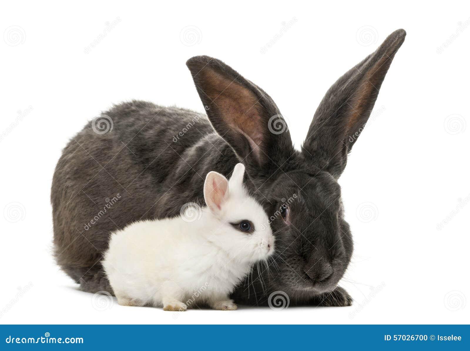 Conejos adentro