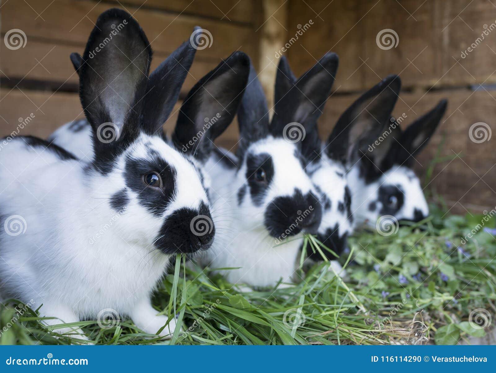 Conejos blancos y negros lindos de un grupo