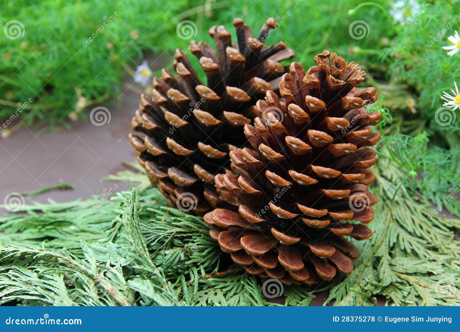 Cones das coníferas nas folhas