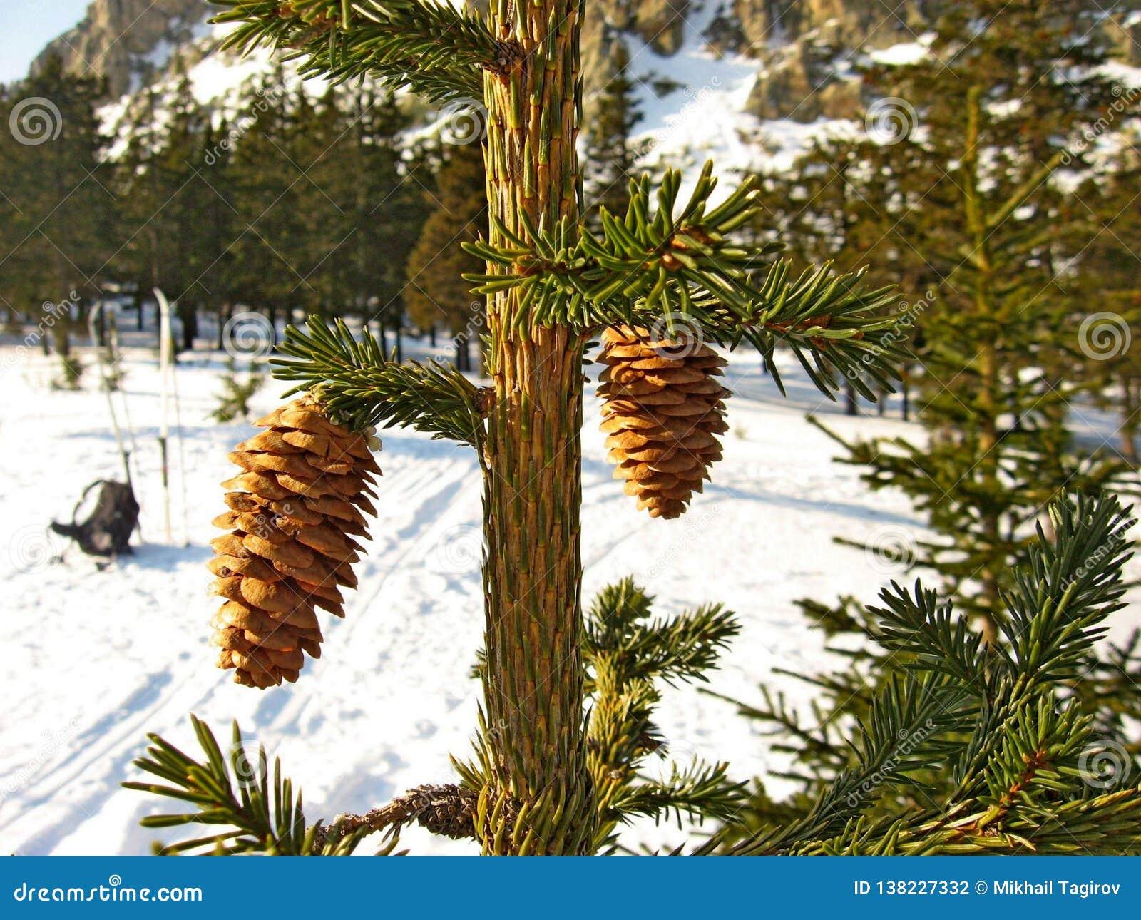Cones de abeto no ramo