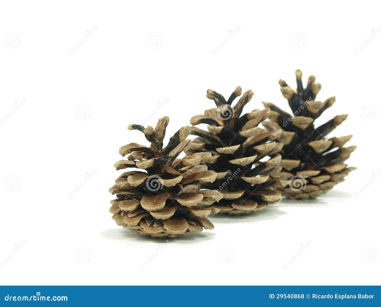 Cones do pinheiro