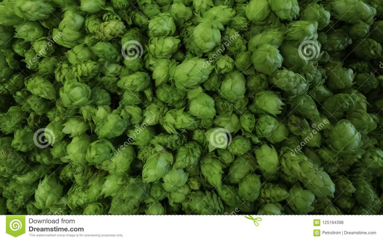 Cones Of Freshly Harvested Hops Stock Photo Image Of Decoration