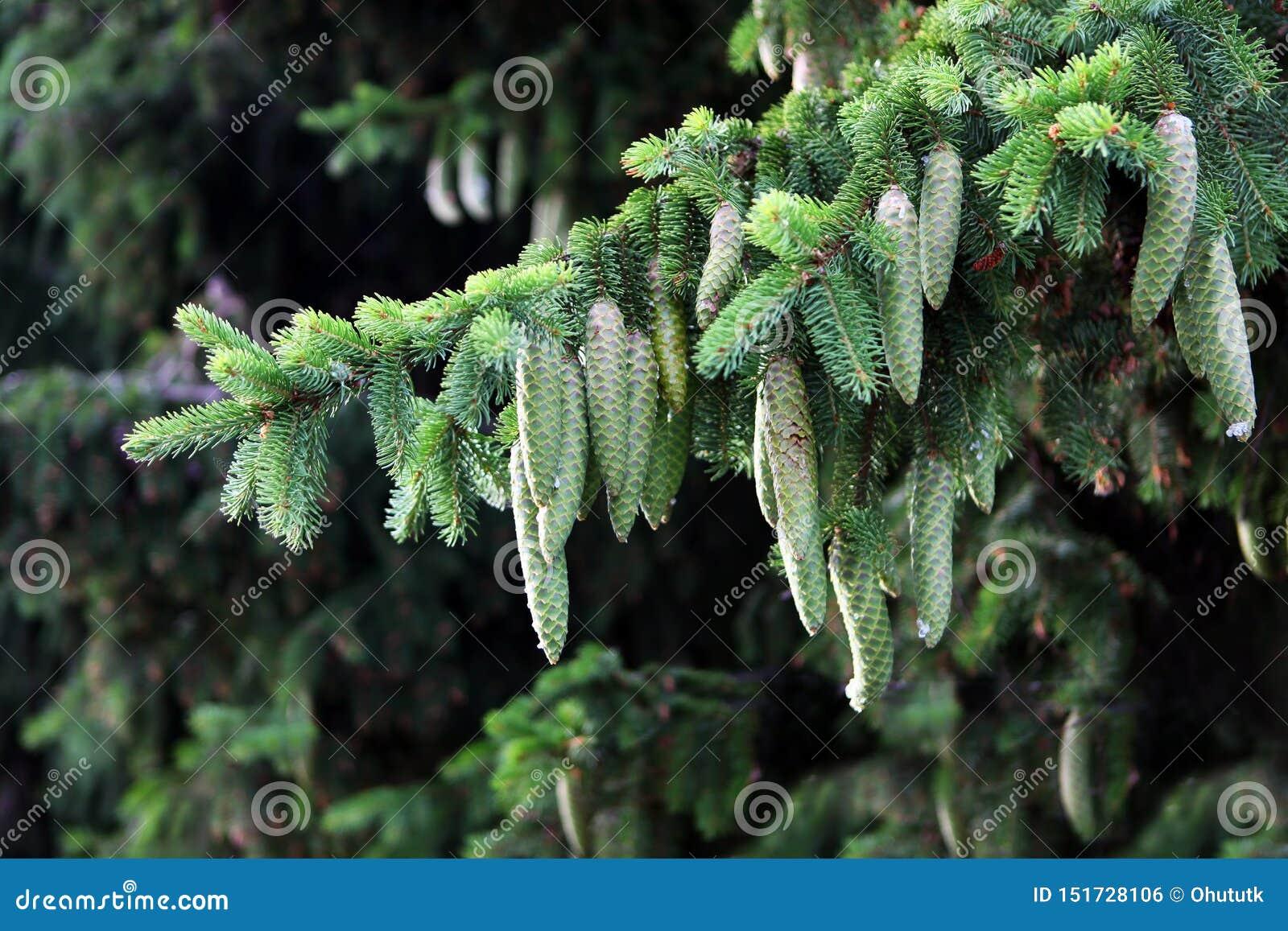 Cones verdes do pinho no ramo de árvore do Natal Forest Timber