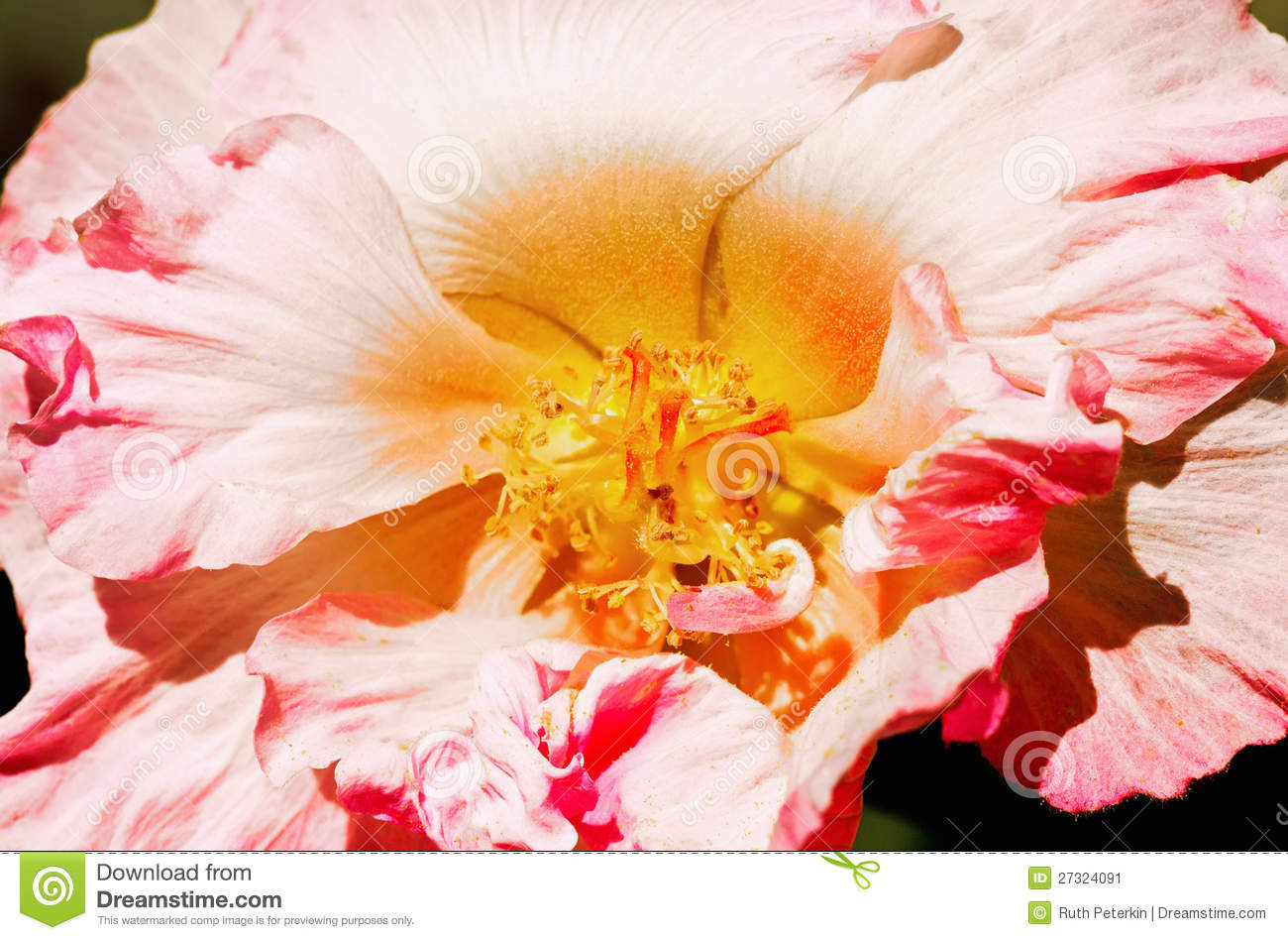 Confederate Rose Flower Stock Image Image Of Growth 27324091