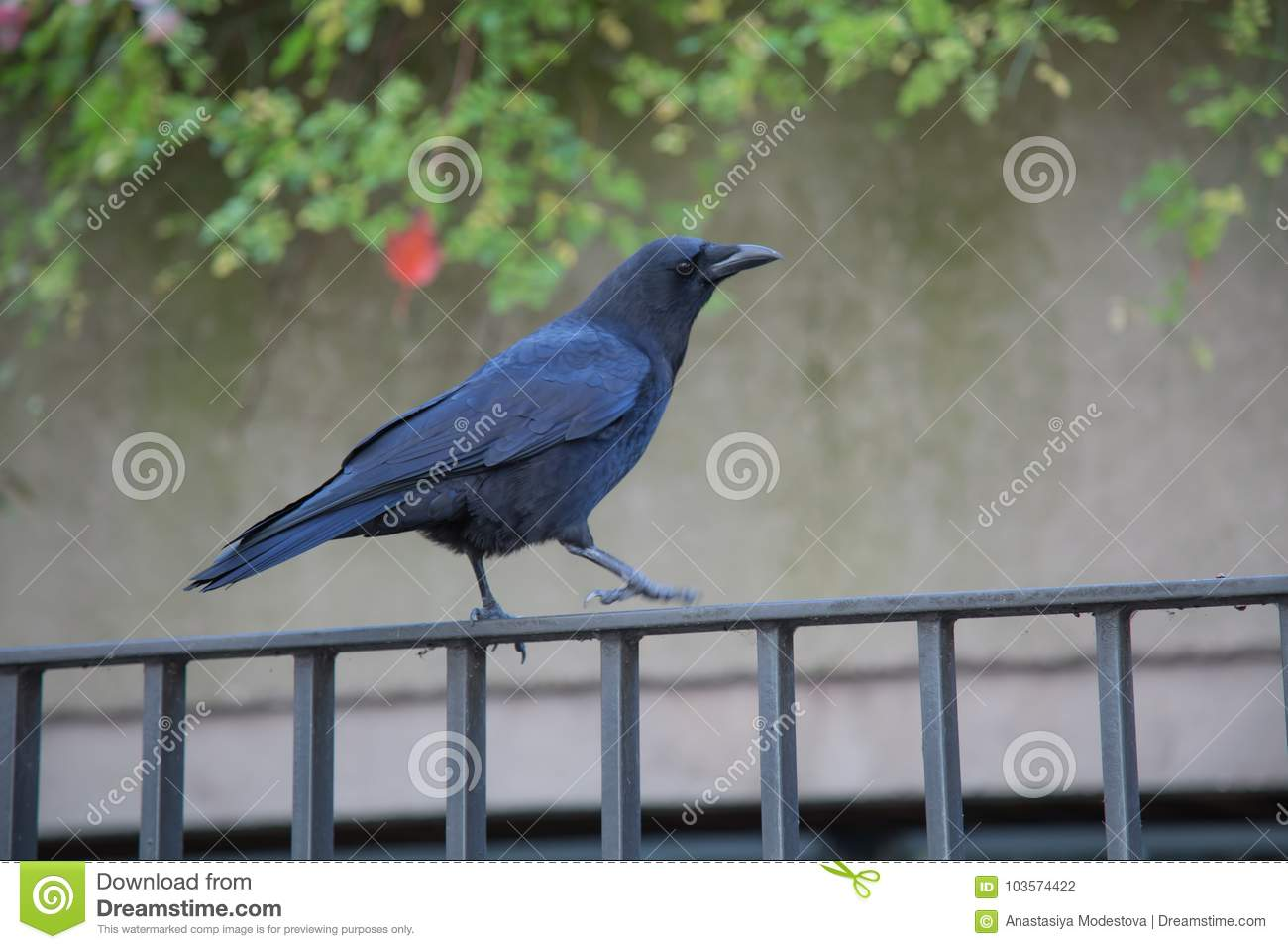 confident black crow walking along fence wall stock photo image of