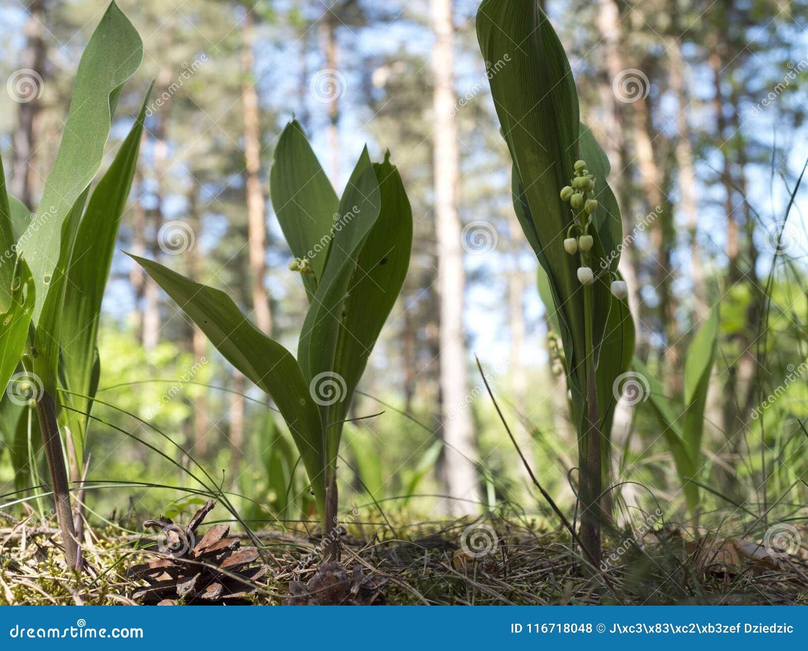 Configurations des majalis de Convallaria du muguet fleurissant dans la forêt