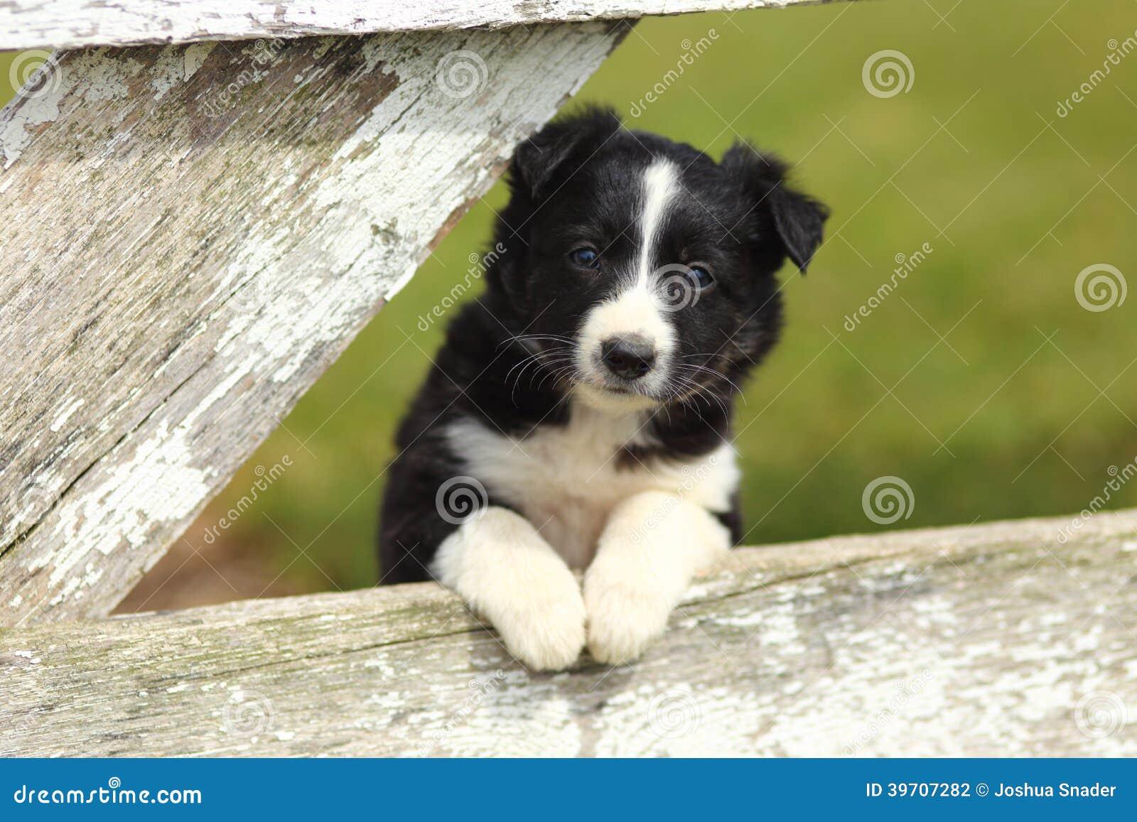 confine collie puppy resting paws sul recinto di legno bianco rustico fotografia stock. Black Bedroom Furniture Sets. Home Design Ideas
