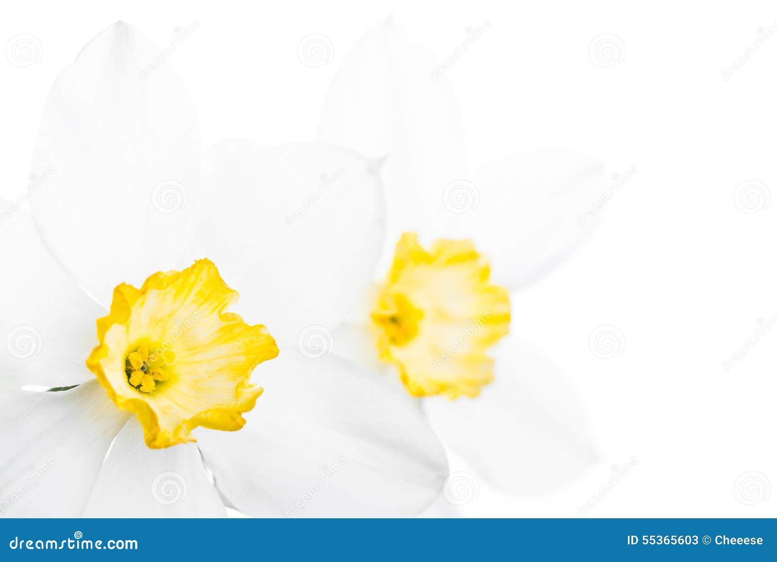 Confine floreale della primavera, bello narciso fresco