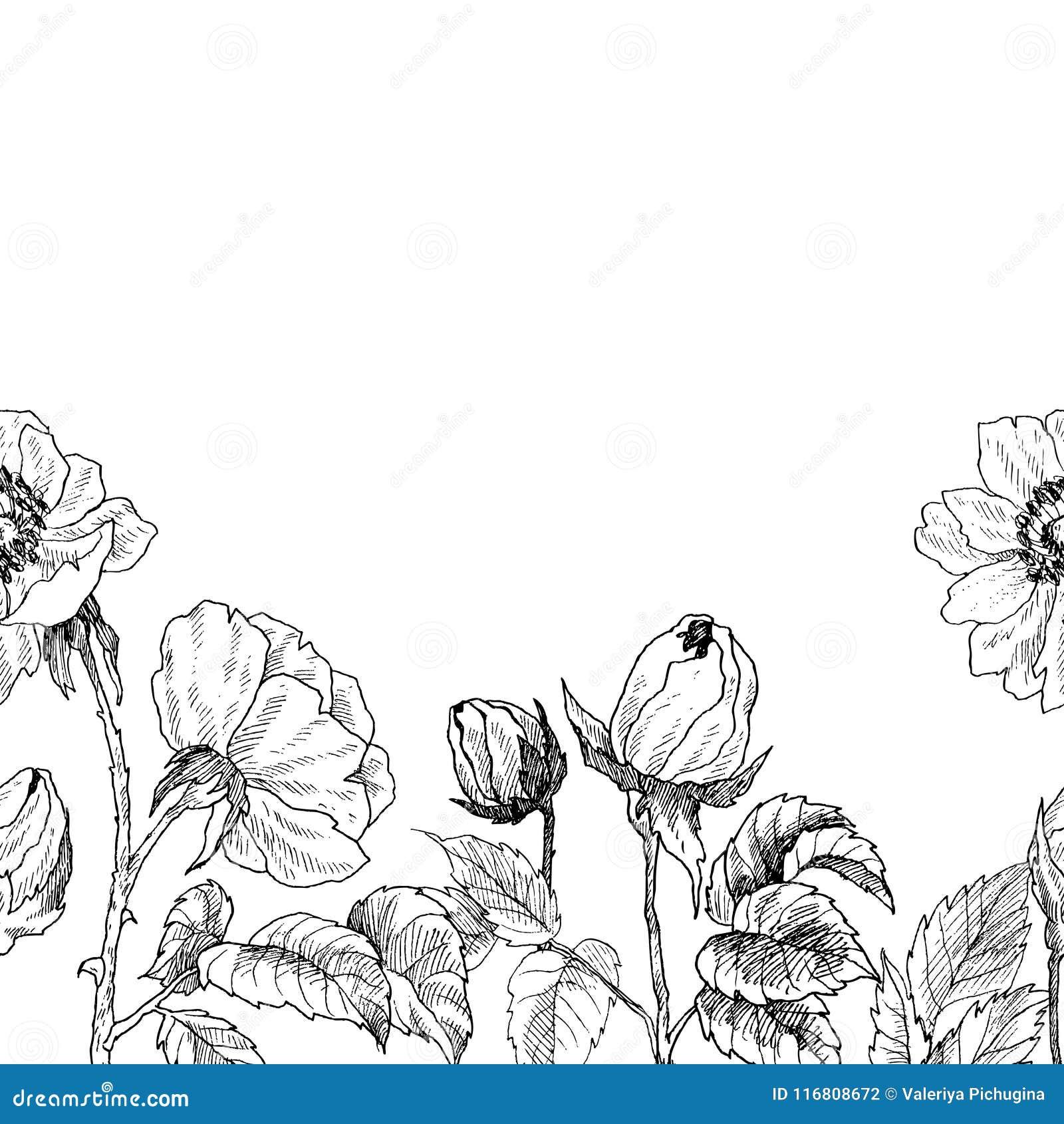 Confine senza cuciture del ramo selvaggio del fiore delle rose isolato su bianco Illustrazione disegnata a mano botanica d annata