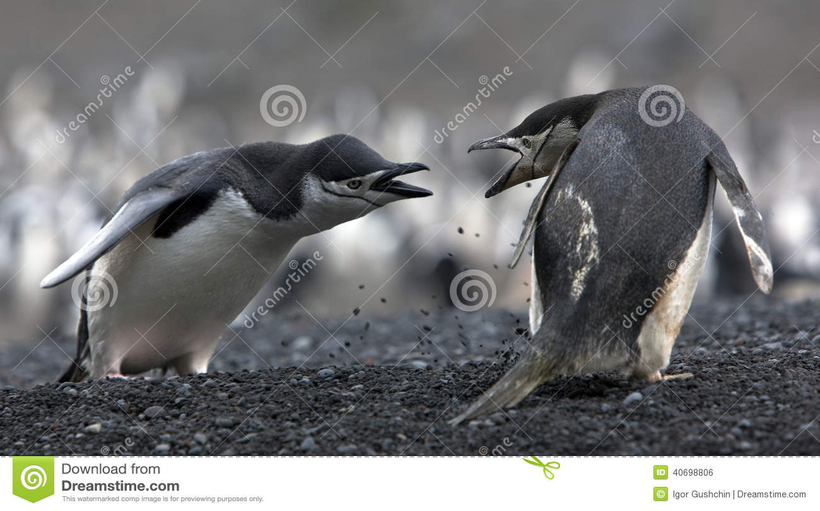 The conflict Antarctic penguins
