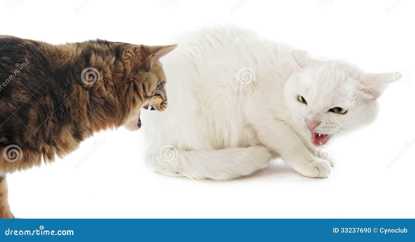 Conflict tussen katten