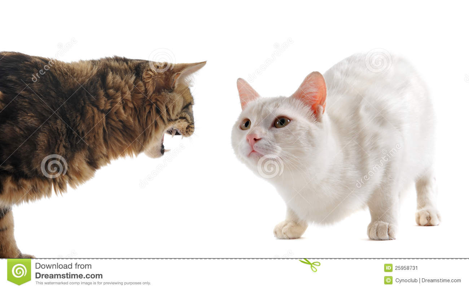 Conflicto entre los gatos