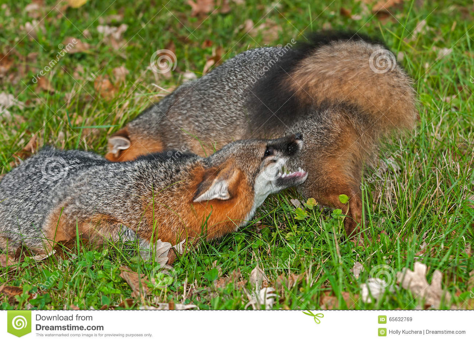 Conflit de Grey Fox (cinereoargenteus d Urocyon)