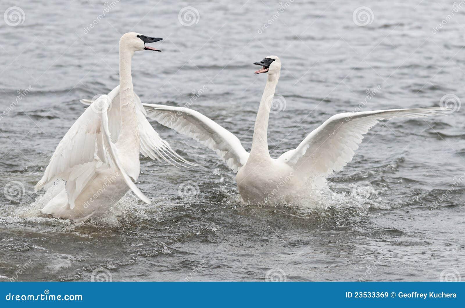 Conflito da cisne da trompetista (Cygnus buccinator)