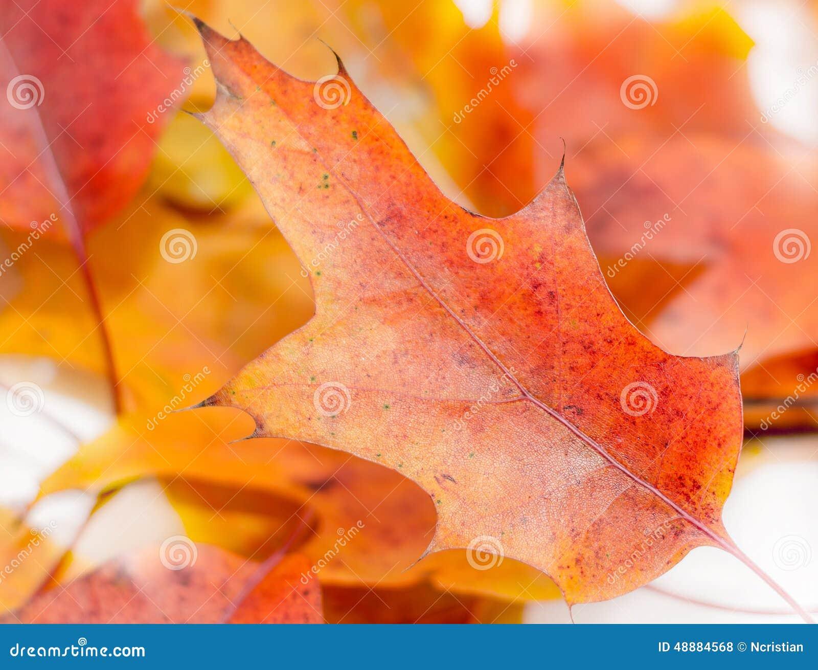 Congé coloré vibrant de chêne d automne (feuille), branche, d isolement