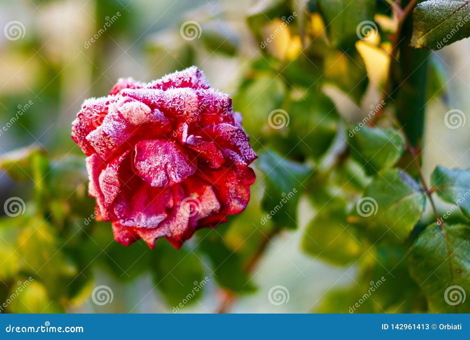Congelado a tempo Beleza vermelha congelada