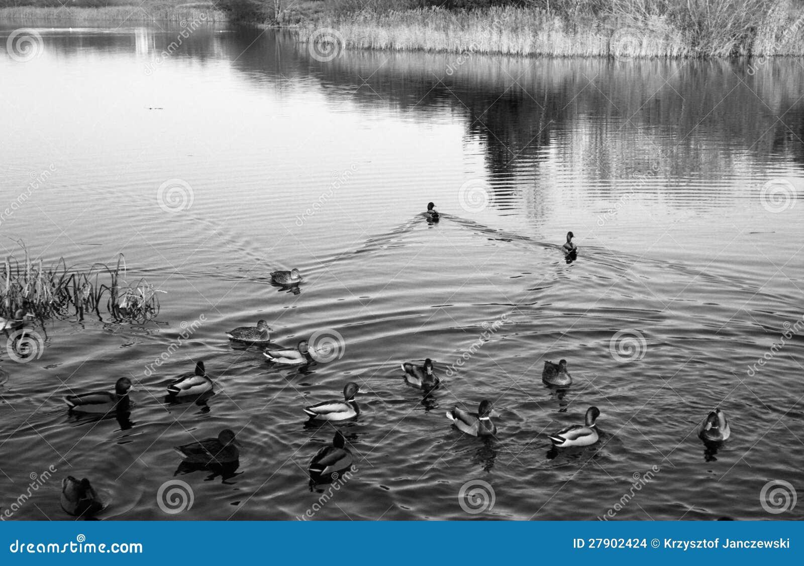 Congress Birds in coastal duck family Land.