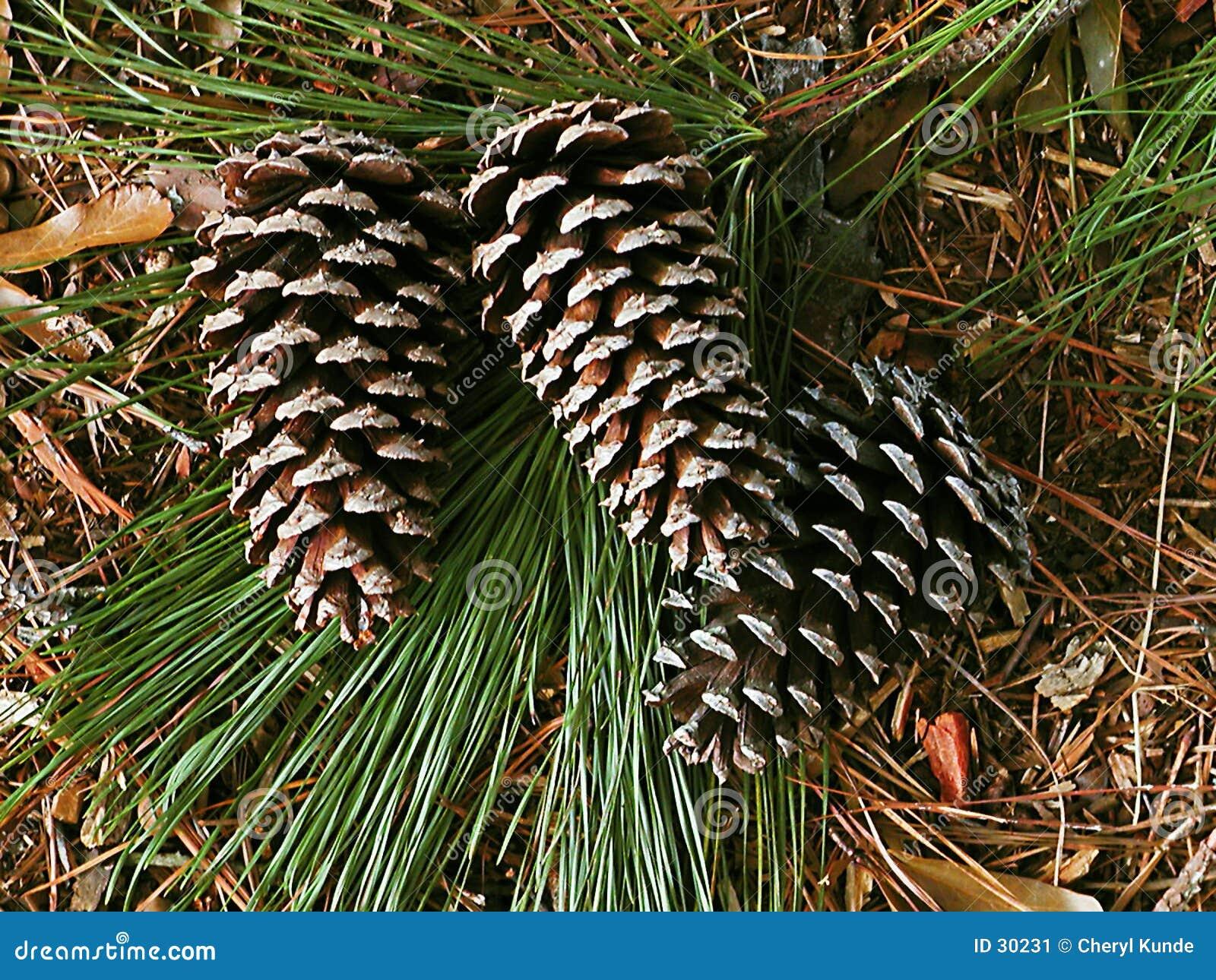 Coni del pino