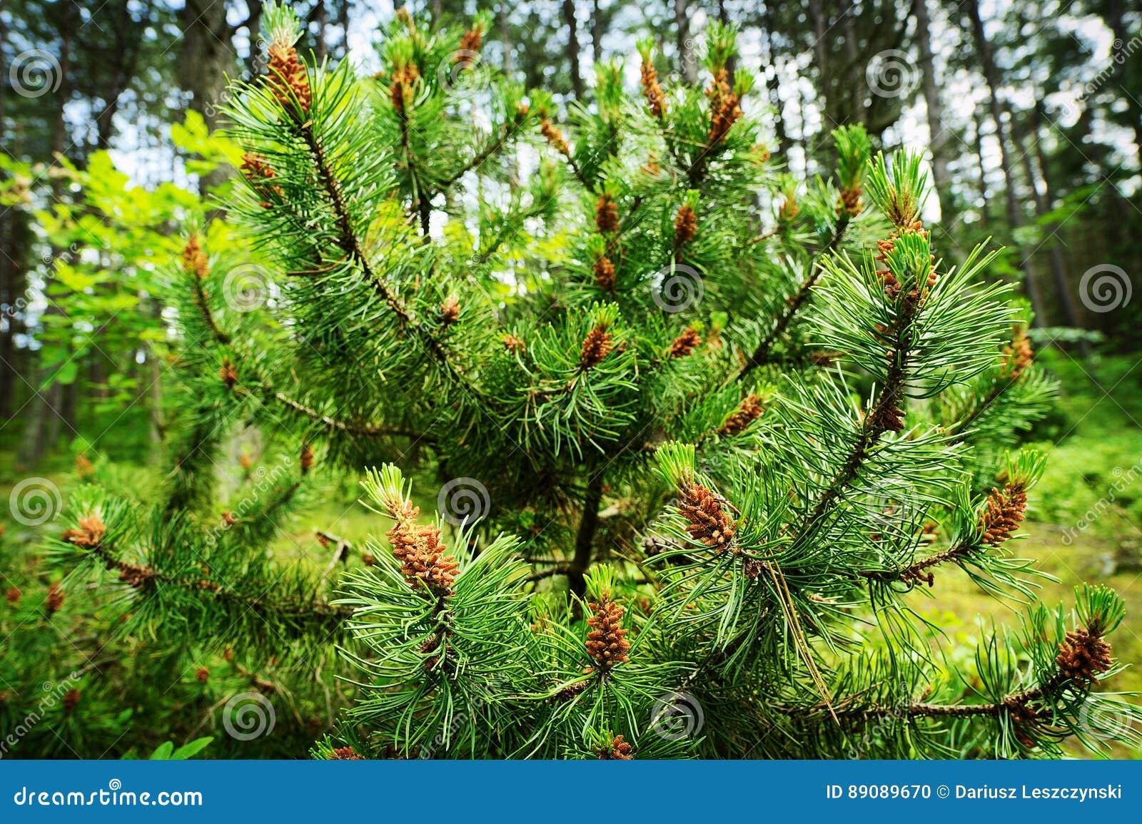 Coni della conifera Polline maschio dell albero di pinus sylvestris del pino scozzese o scozzese il giovane fiorisce