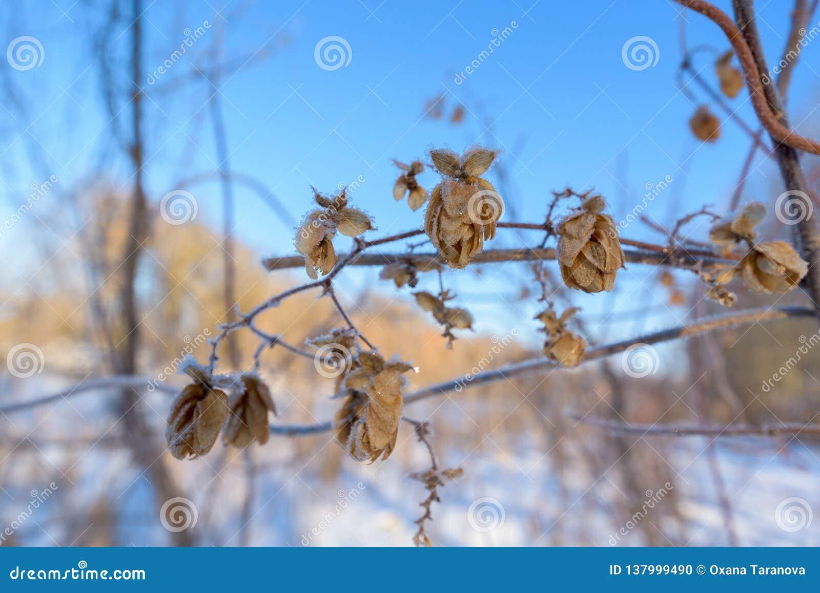 Coni di luppolo coperti di ghiaccio contro il cielo blu, giorno gelido
