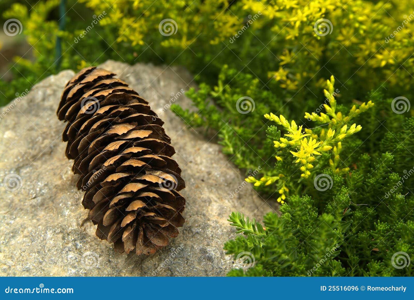 Coni e fiori del pino