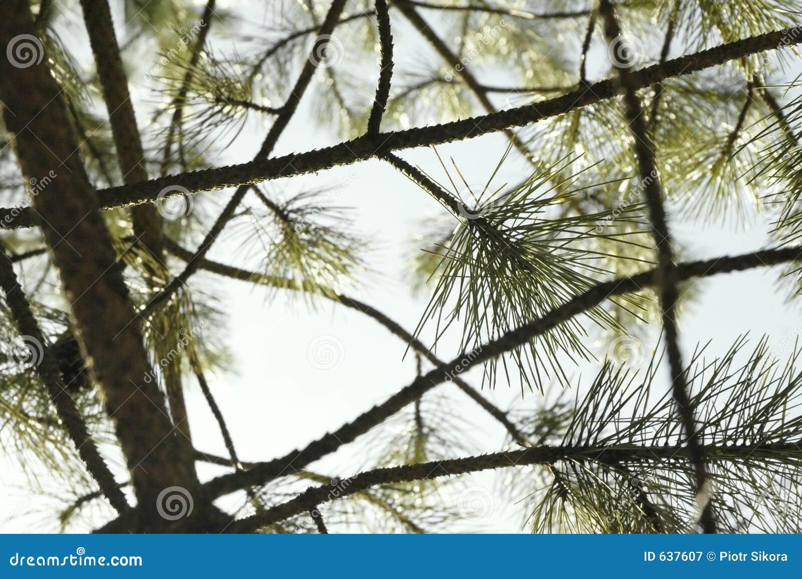 Download Conifer состава над небом стоковое изображение. изображение насчитывающей конец - 637607