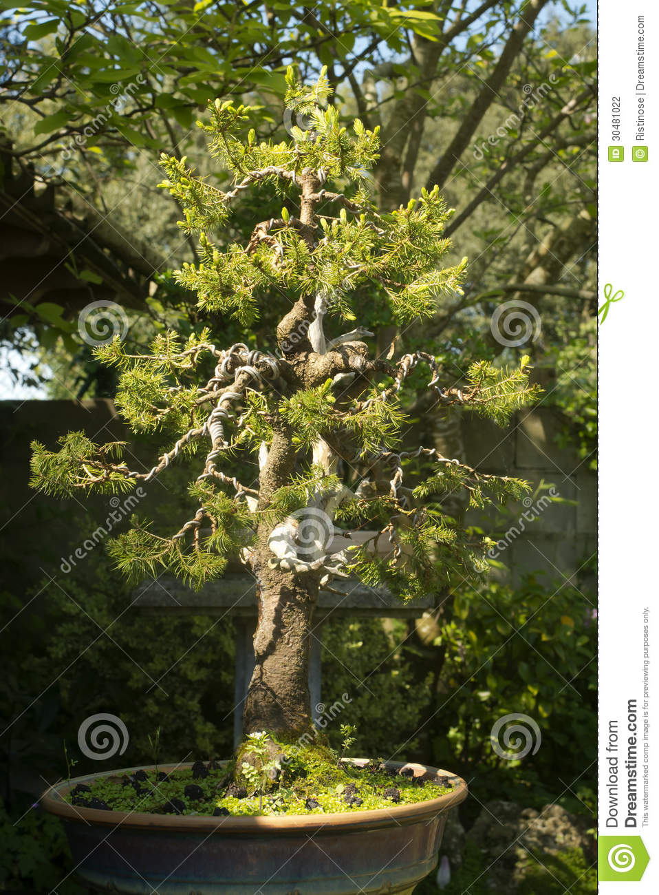 conifer-bonsai-tree-nches-wiring-process-garden-30481022 Wiring Bonsai on bonsai lamps, bonsai jade, bonsai tools, bonsai starter, bonsai cultivation and care, bonsai tree, bonsai blue, bonsai artist, bonsai copper wire, bonsai accessories, bonsai wire sets, bonsai wire sizes, indoor bonsai, national bonsai foundation, bonsai ficus varieties, bonsai shapes, bonsai without wires,