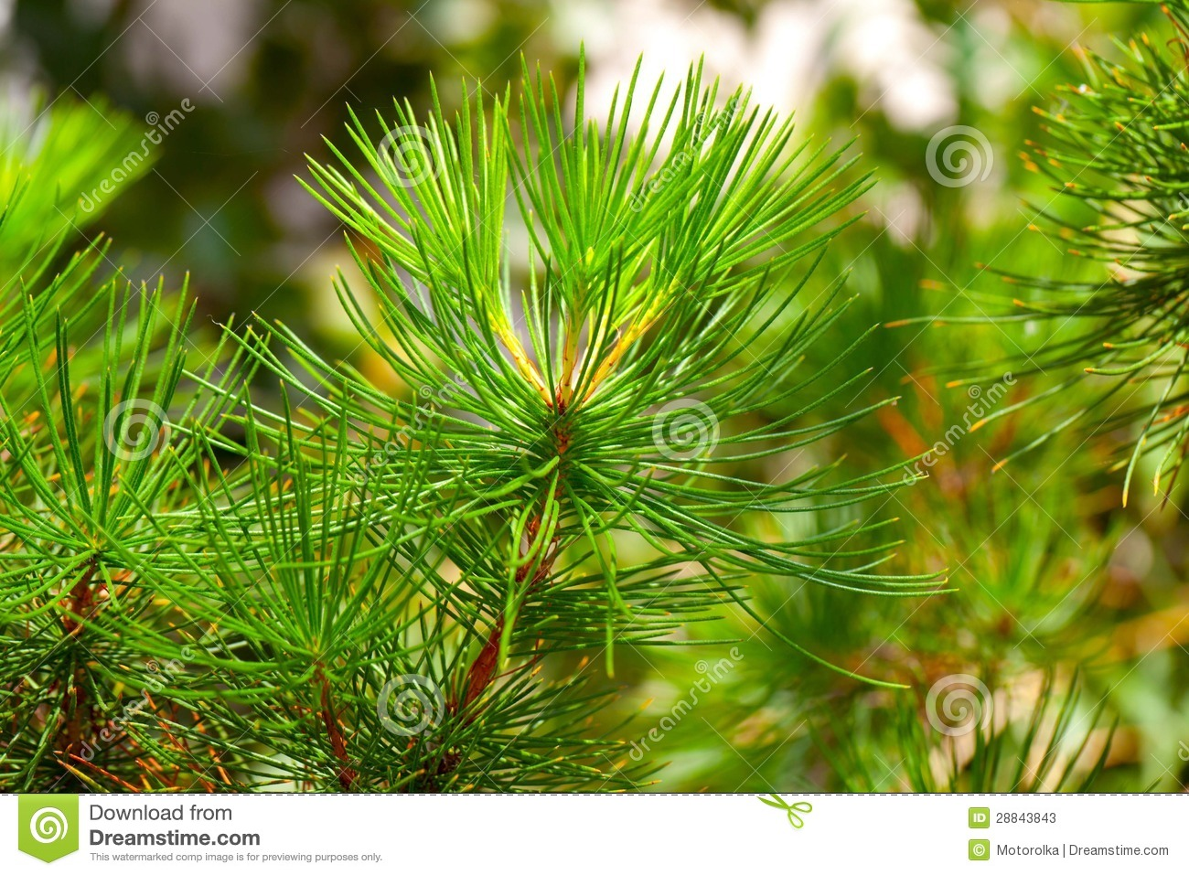 conifer evergreen tree stock image image of endemic