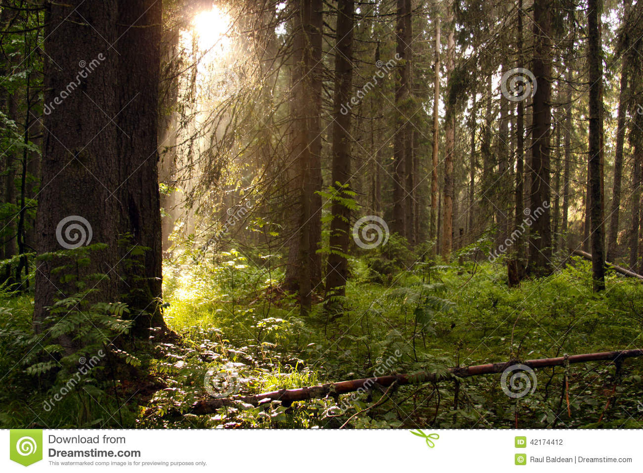 Conifer forest with sun rays