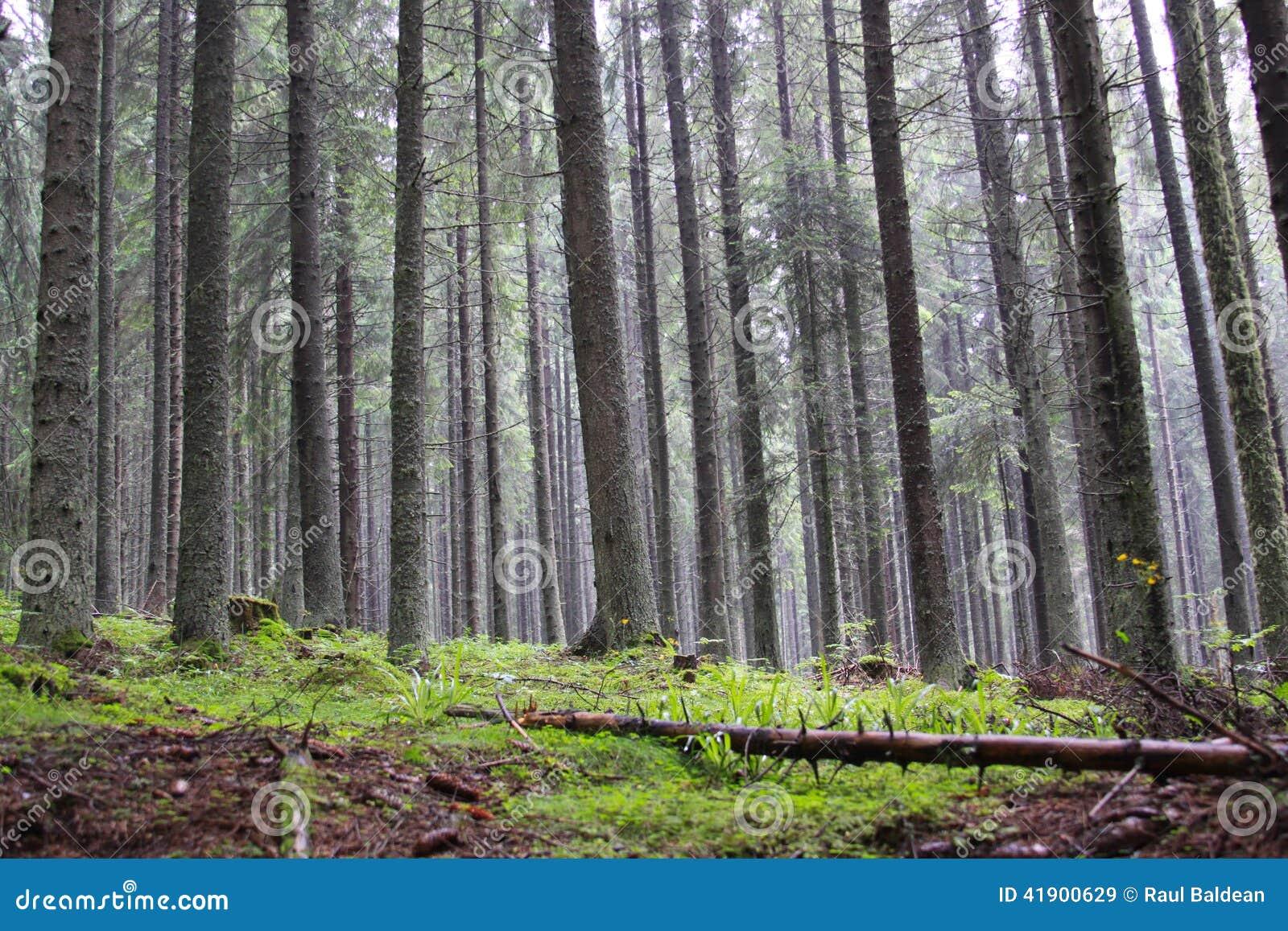 Conifer forrest