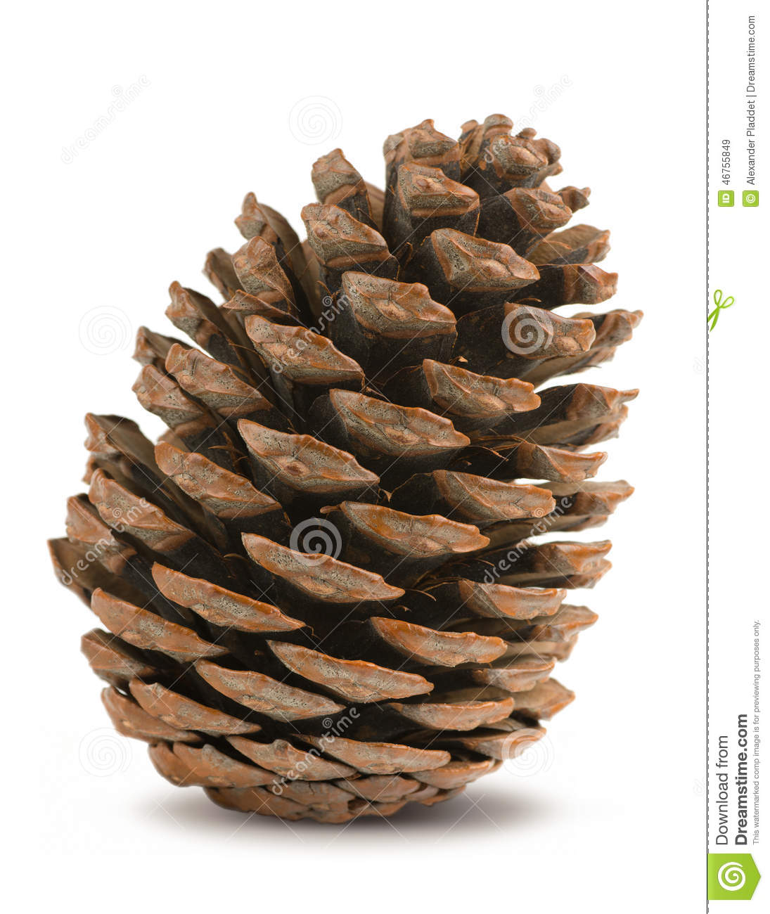 single men in conifer Gardening with conifers  covers virtually every aspect of conifer use and culture in a format  a wonderful series of photos depicting a single fir cone's.