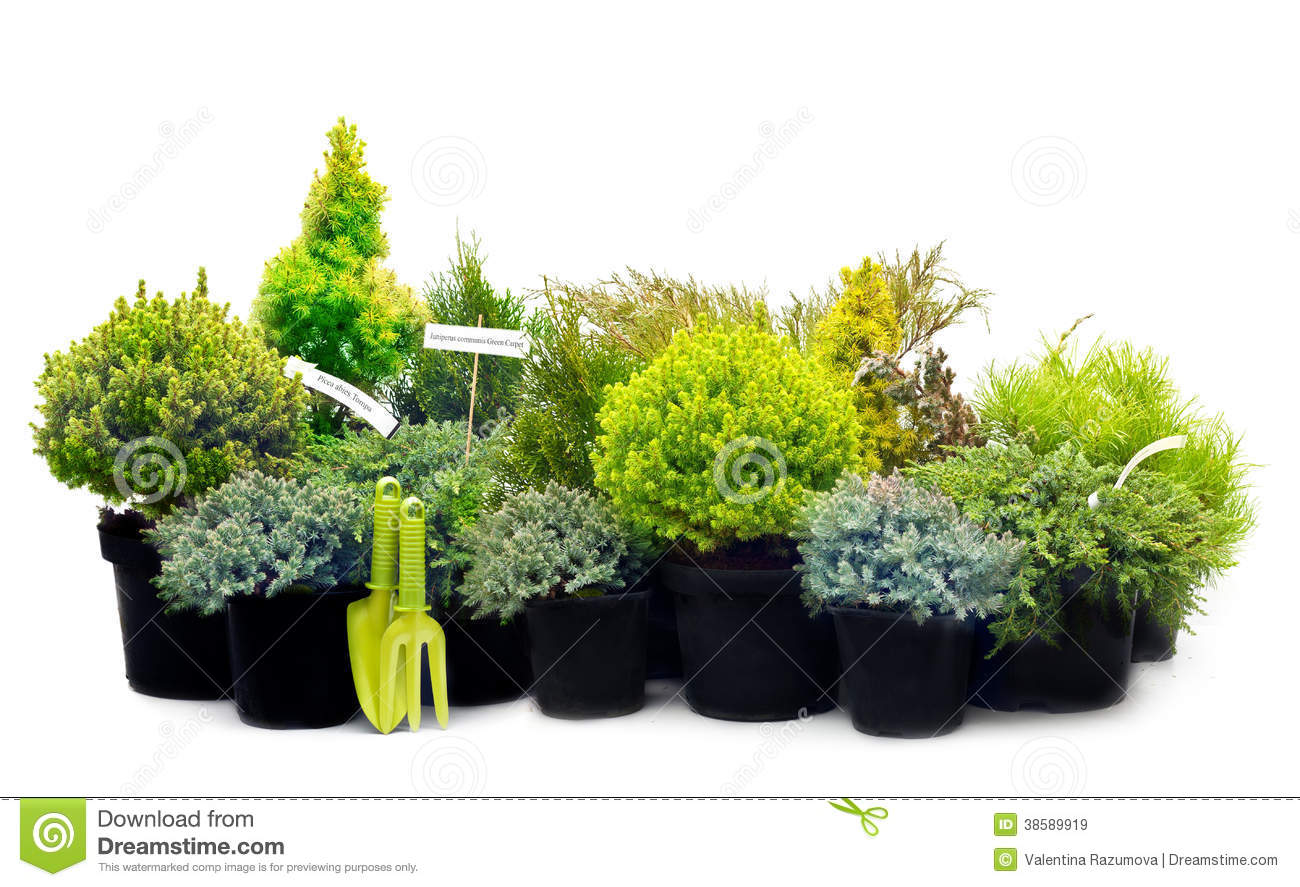 Conifer Sapling Trees In Pots Stock Image Image Of