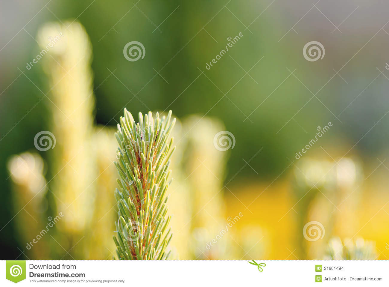 Conifer with shallow focus for background