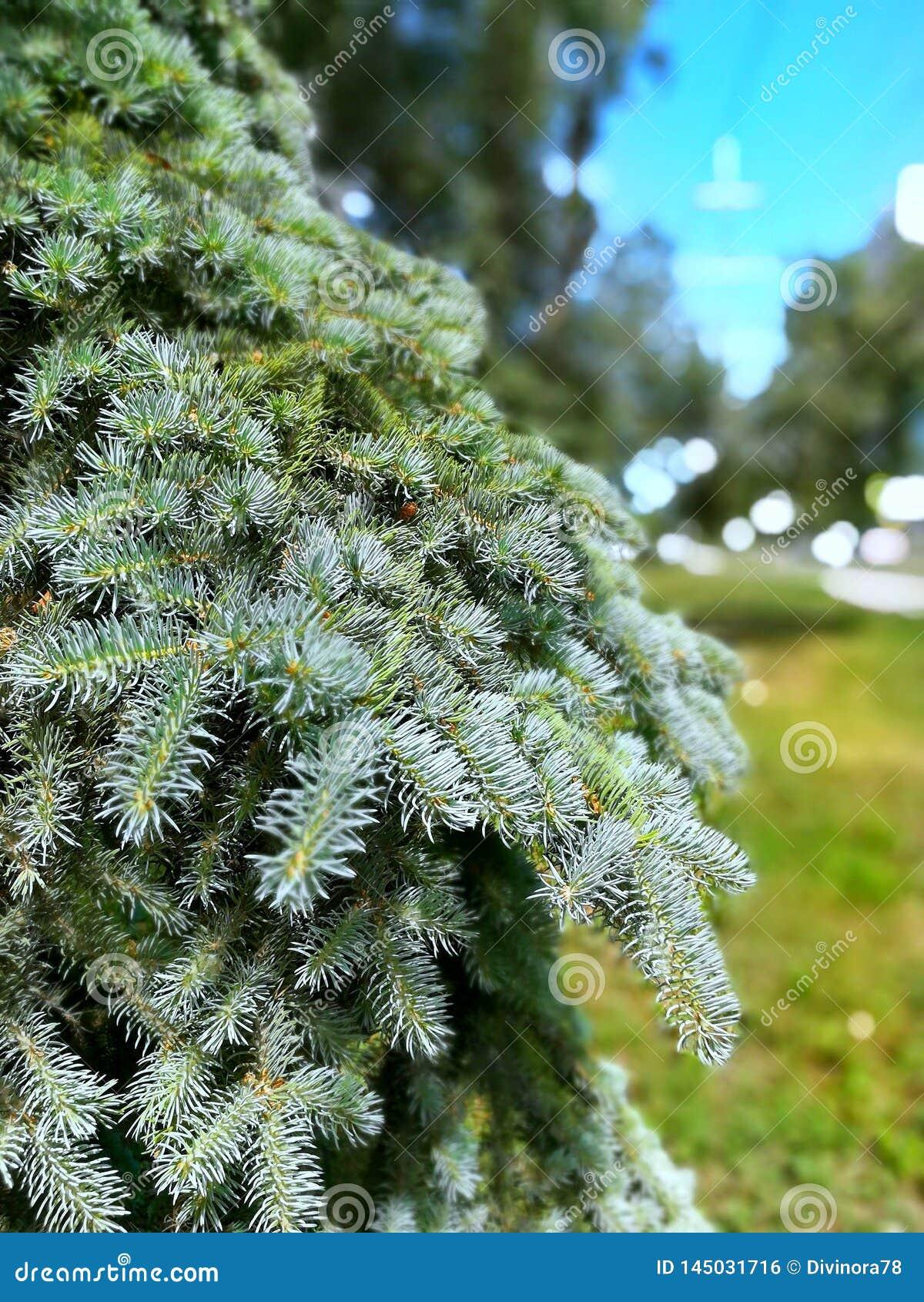 Conifer.