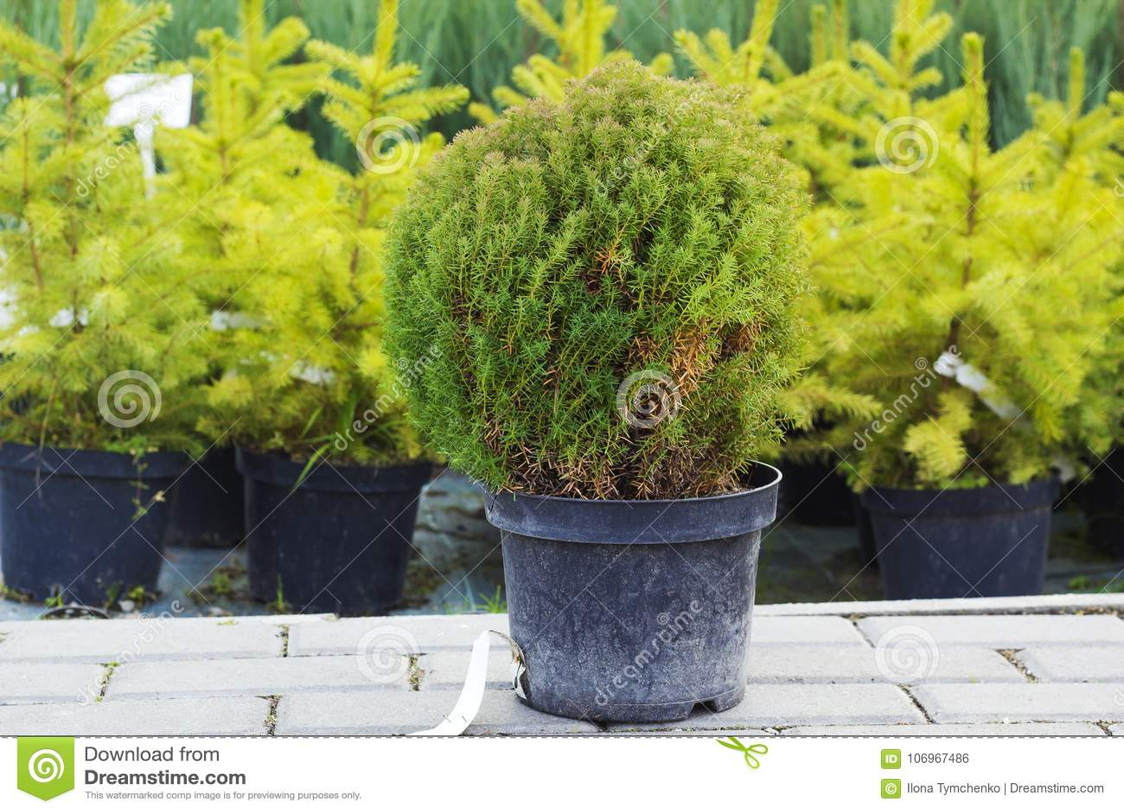 Conifera sempreverde di piccolo tasso in vaso da fiori al giardino fotografia stock immagine - Vaso da giardino ...