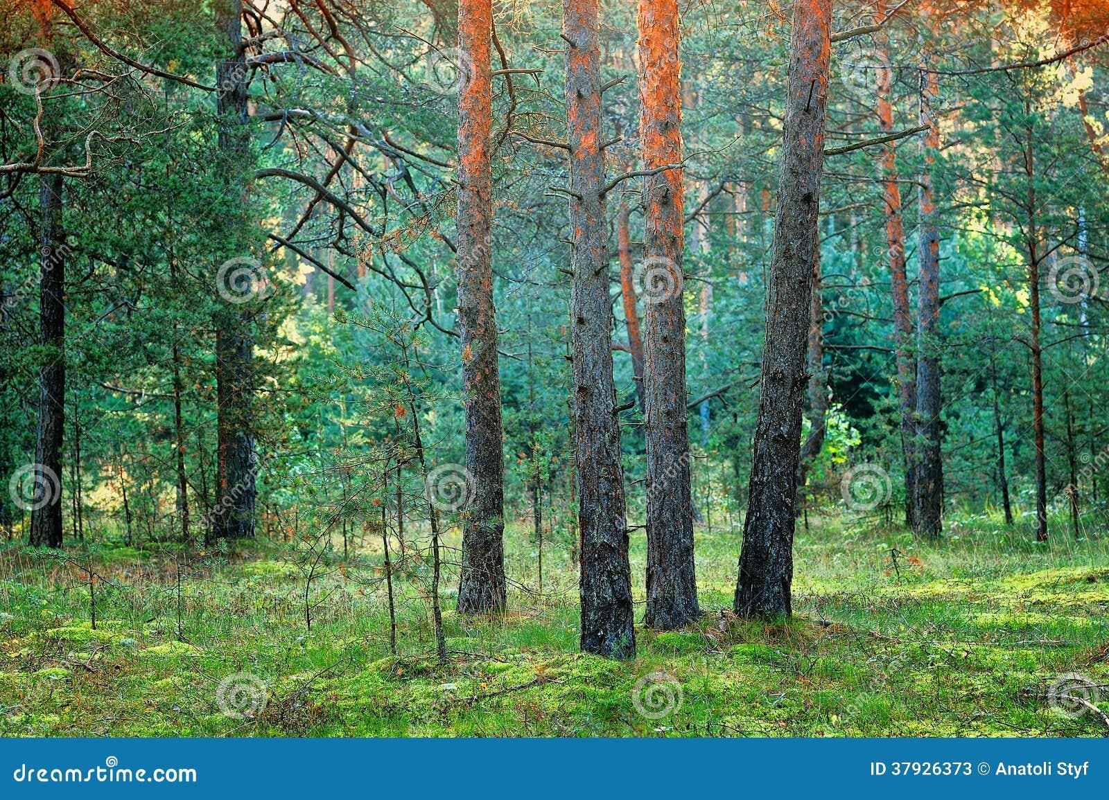Coniferous лес