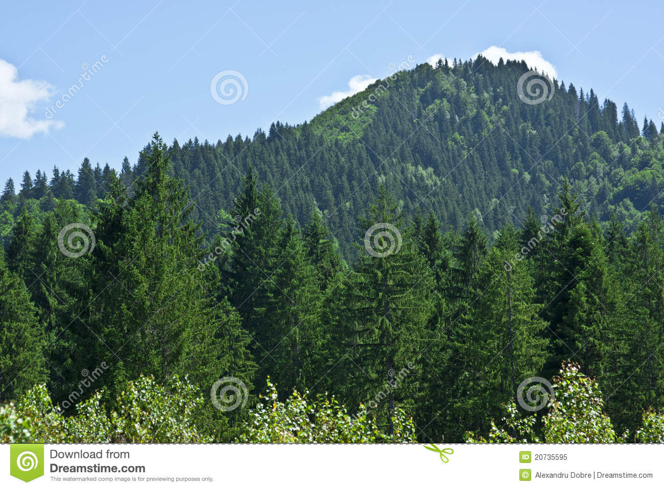 coniferous forest on the mountain stock image image