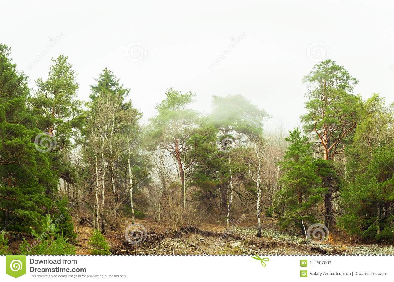 Coniferous green trees in the fog, clouds in the mountains