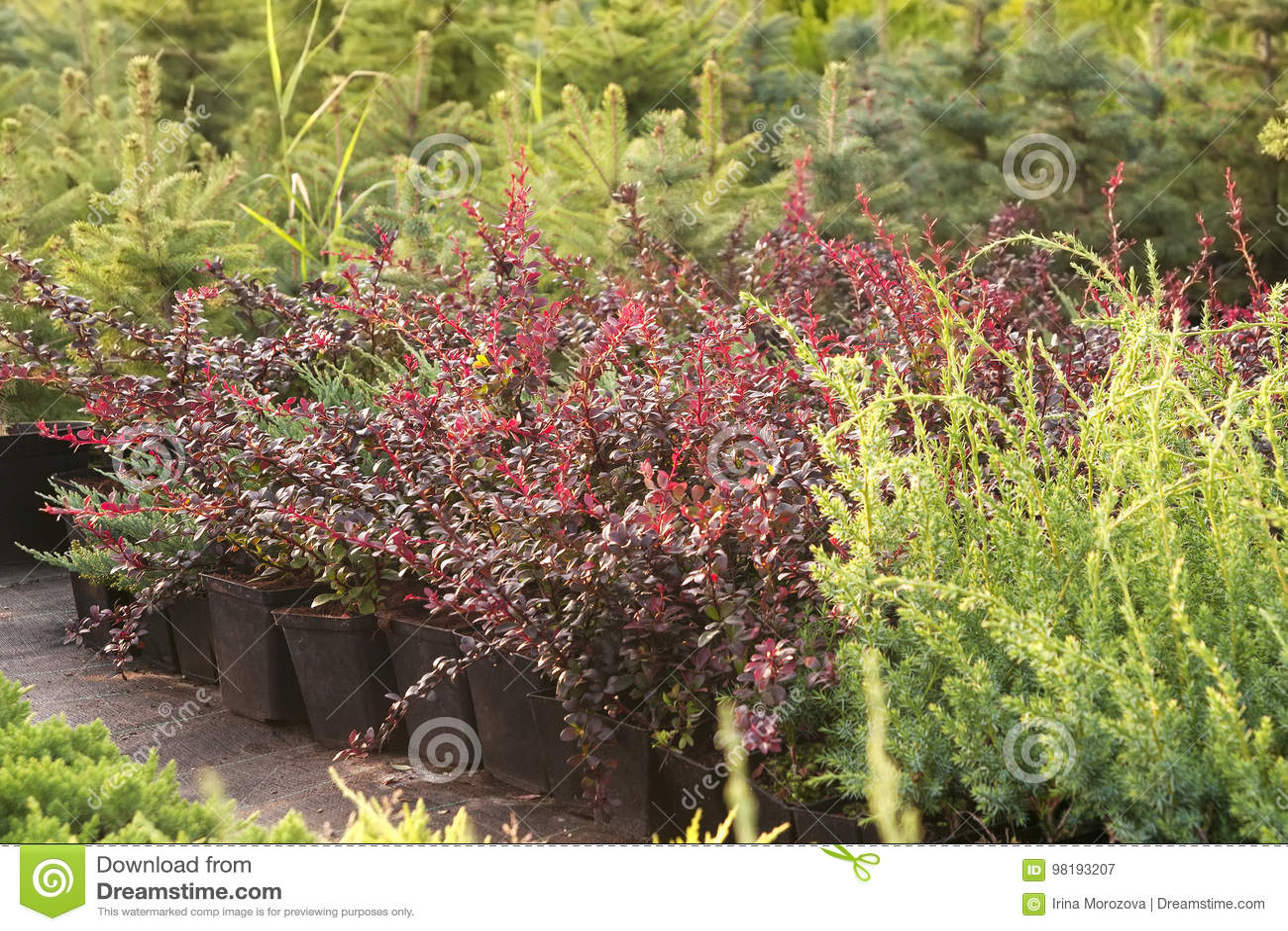 Download Coniferous Plants In Garden Pots In The Nursery Stock Image    Image Of Pots,