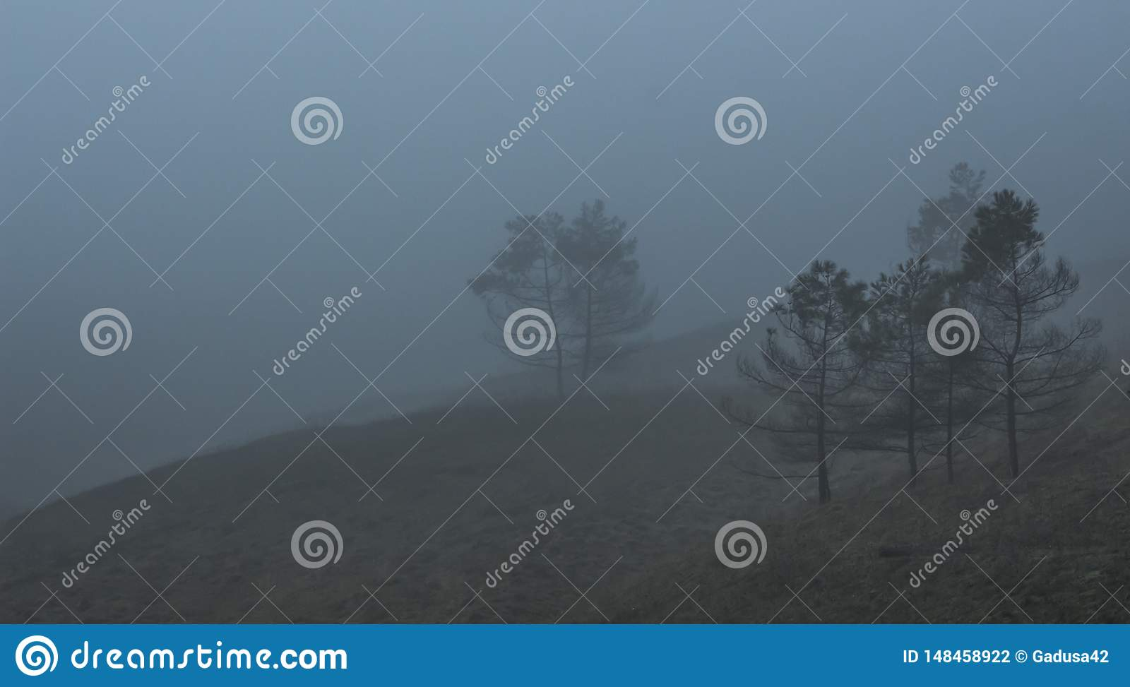 Coniferous trees in thick fog.