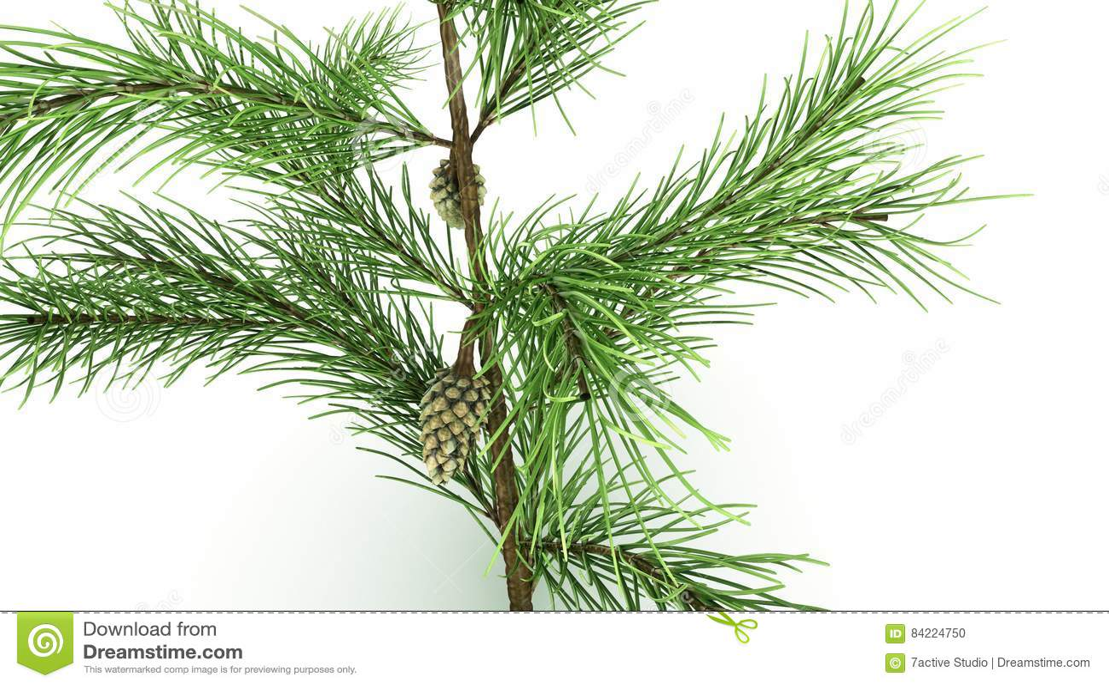 Conifer Leaf