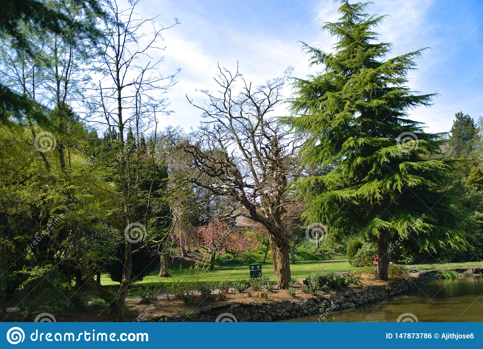 Conifers by the lake