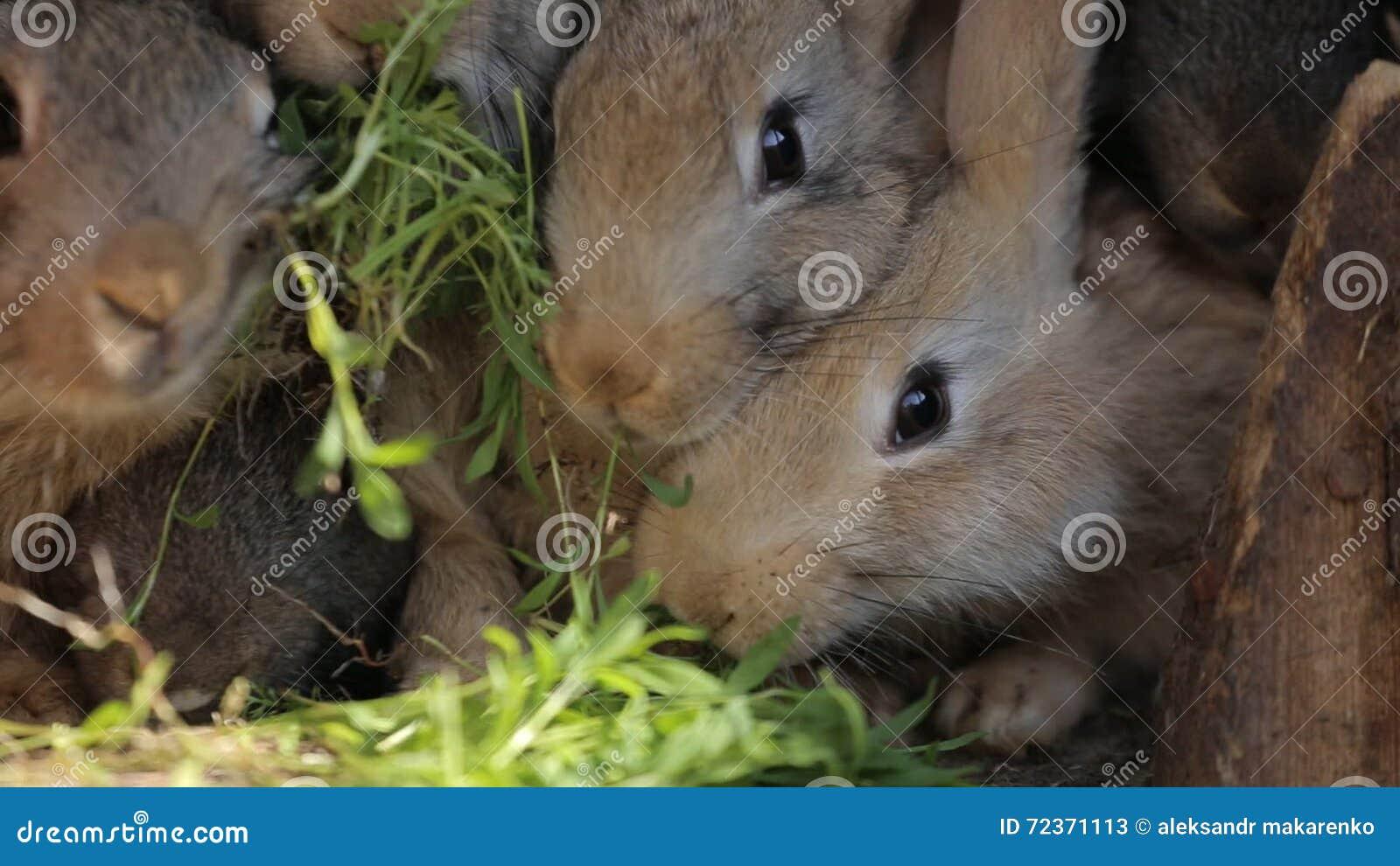 Conigli Domestici In Una Gabbia I Conigli Grigi Della Famiglia