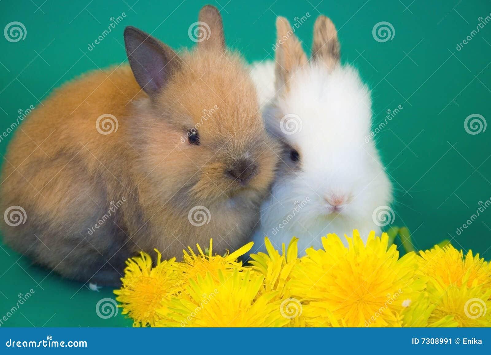 Conigli e fiori del dente di leone