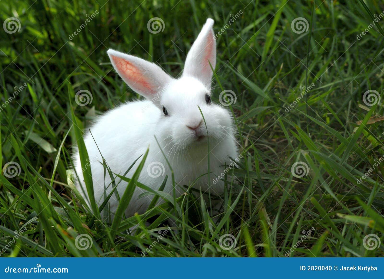 Coniglio bianco 1