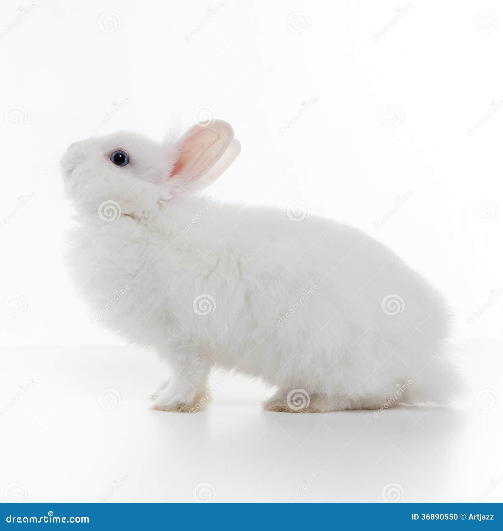 Download Coniglio Bianco Isolato Su Bianco Fotografia Stock - Immagine di poco, pasqua: 36890550