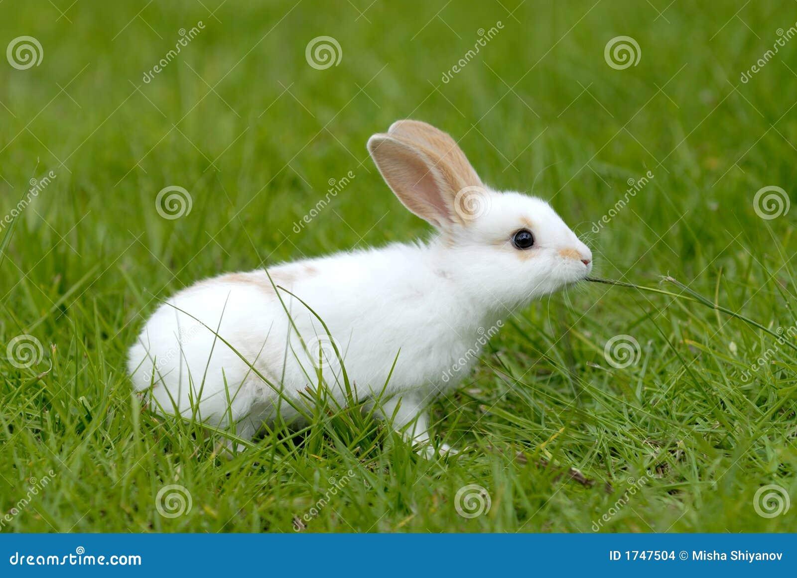 Coniglio bianco sull erba