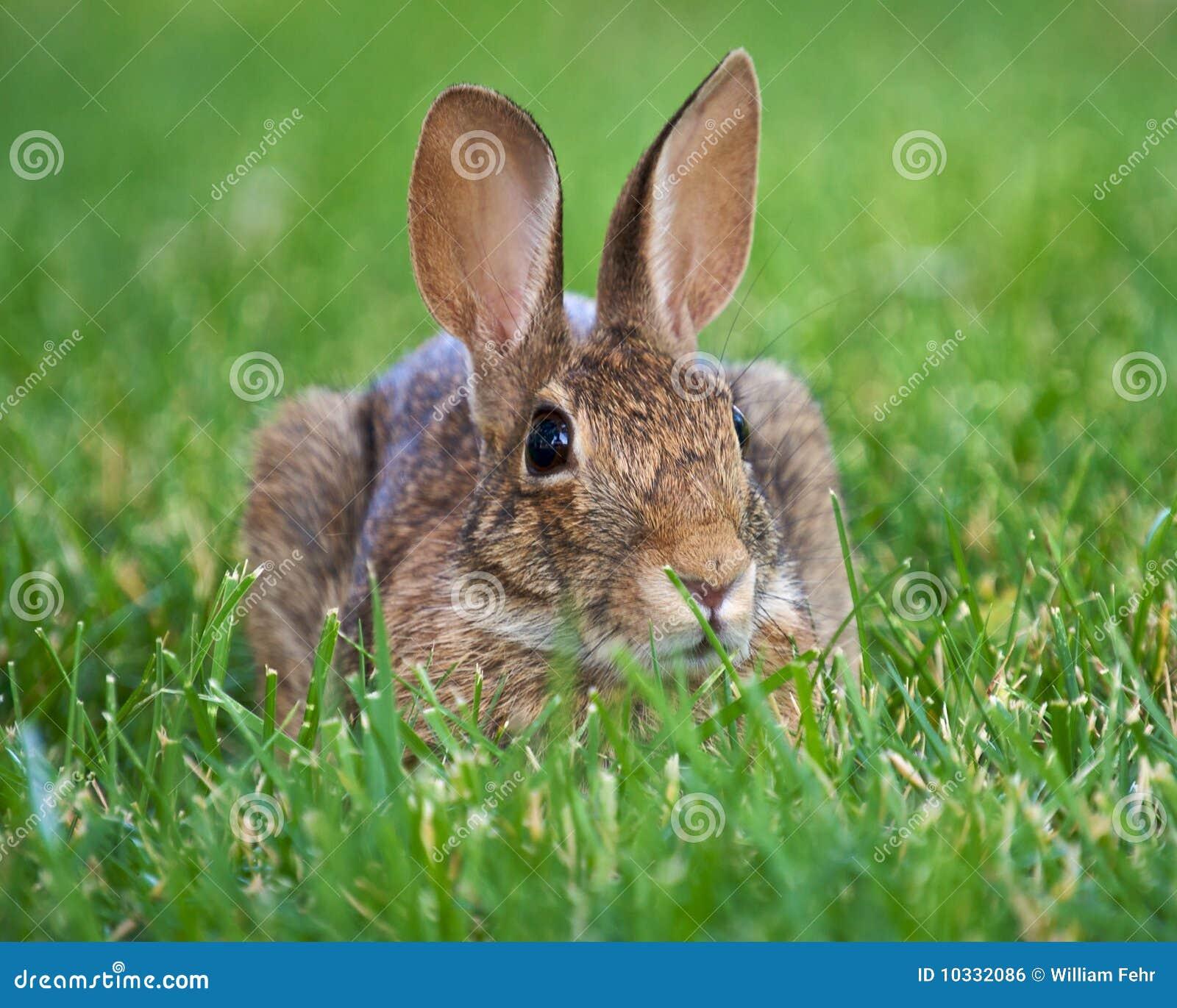 Coniglio del Brown