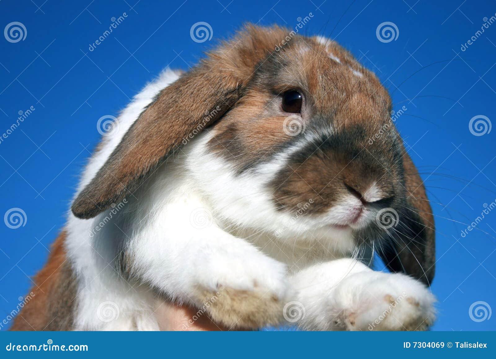 Coniglio sveglio